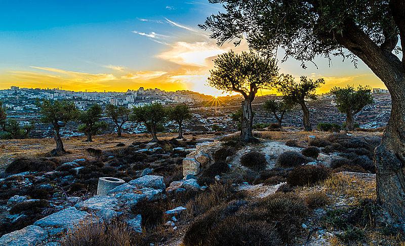 Olive trees in Shepherd's Field near Bethlehem